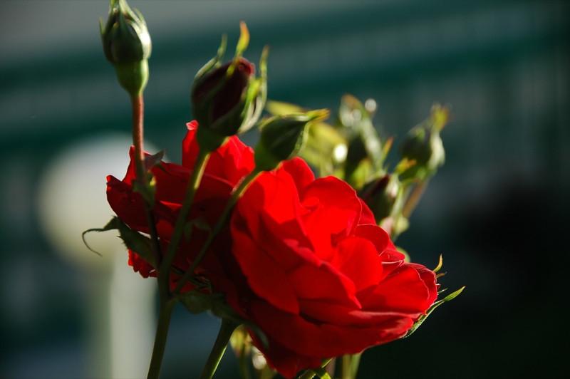 Red Rose - Prague, Czech Republic