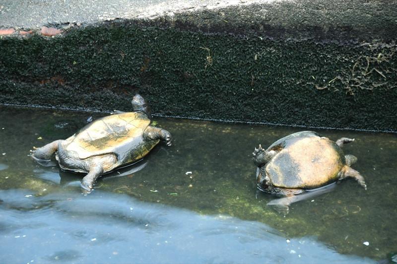 Turtles at Kek Lok Si Temple - Penang, Malaysia