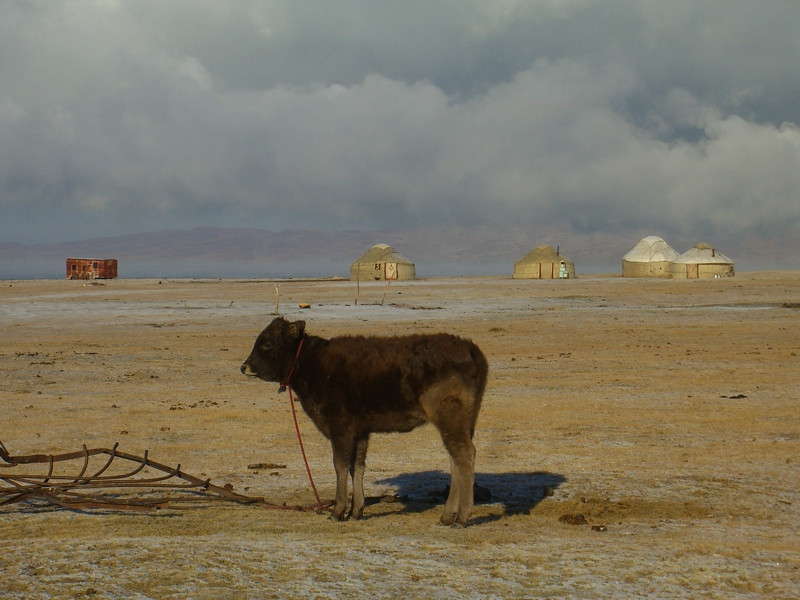 Lonely Calf - Song Kul Lake, Kyrgyzstan
