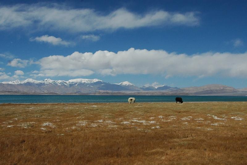 Yaks in Pamir Mountains, Tajikistan