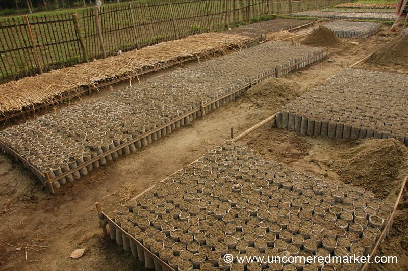 Rural Indian Village, Seedlings - West Bengal, India