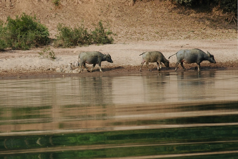 Water Buffalos Walking Along the Shore - Nong Khiaw, Laos