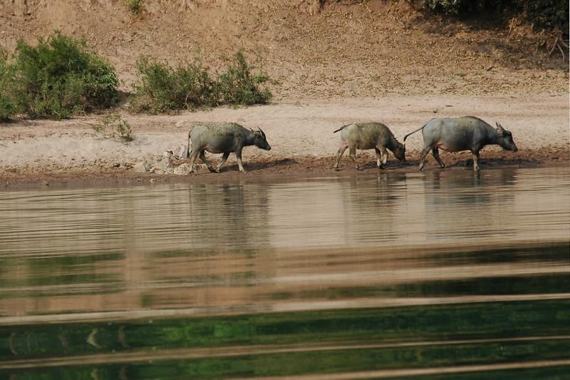 Water Buffalos Walking Along the Shore - Nong Khiaw, Laos