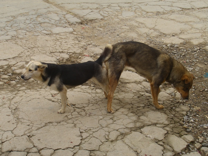 Attached Dogs - Yunnan, China
