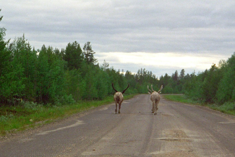 Reindeer on the Road - Lapland, Finland