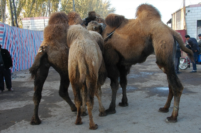 Kashgar Animal Market: Camels Huddle - China