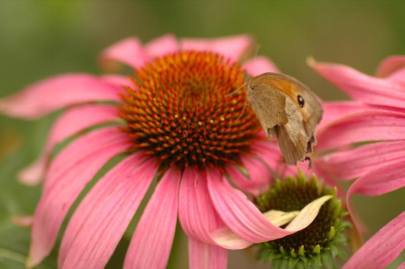 Butterfly on a Flower - Bohemia, Czech Republic