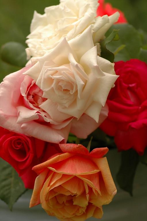 Colorful Roses - Kakheti, Georgia