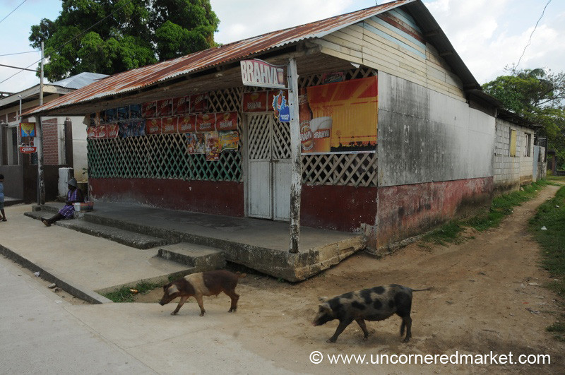 Pigs Going for a Walk - Livingston, Guatemala