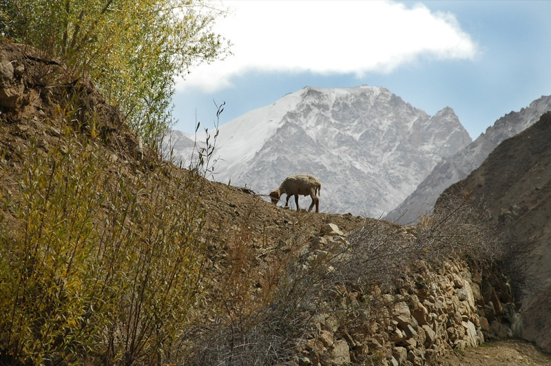 Goat on the Mountain - Garm Chashma, Tajikistan