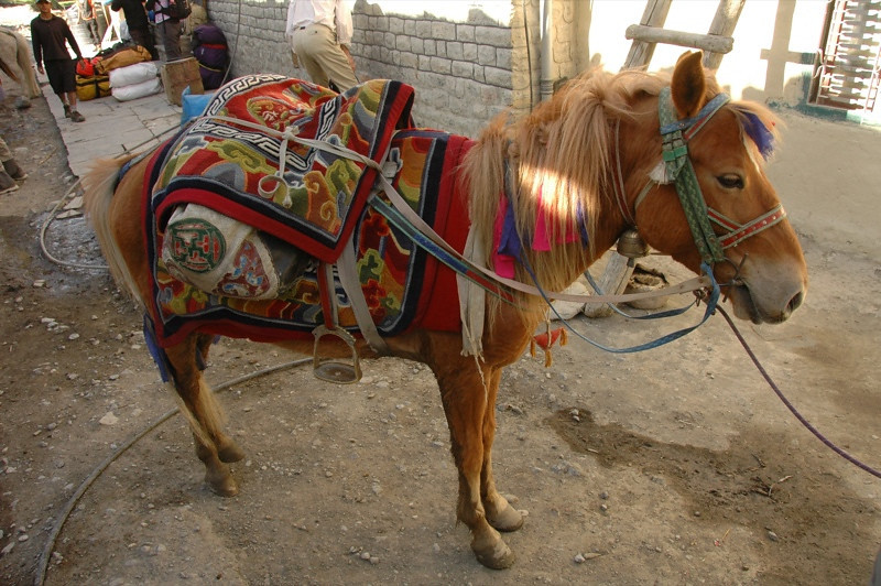 Mule Fashion - Annapurna Circuit, Nepal