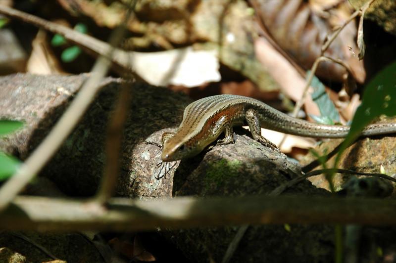 Irridescent Lizard - Khao Sok, Thailand