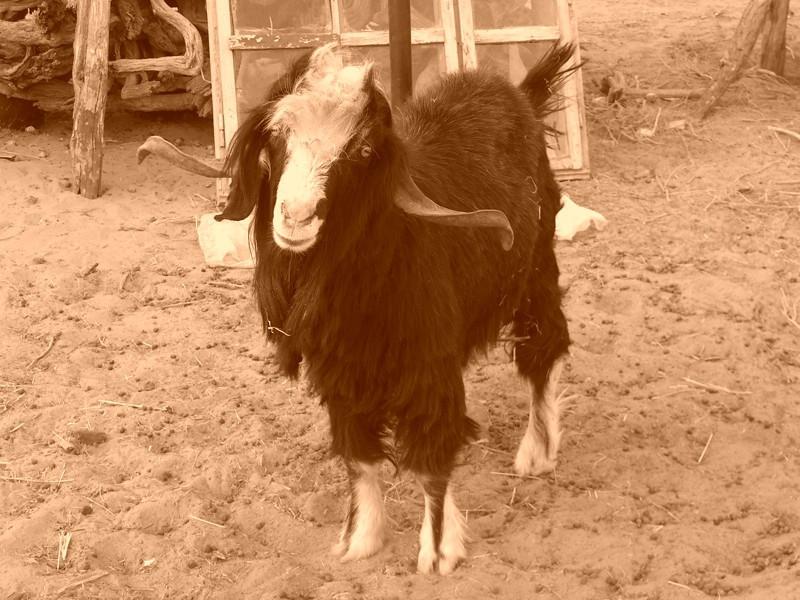 Goat in the Desert Village of Jerbent, Turkmenistan
