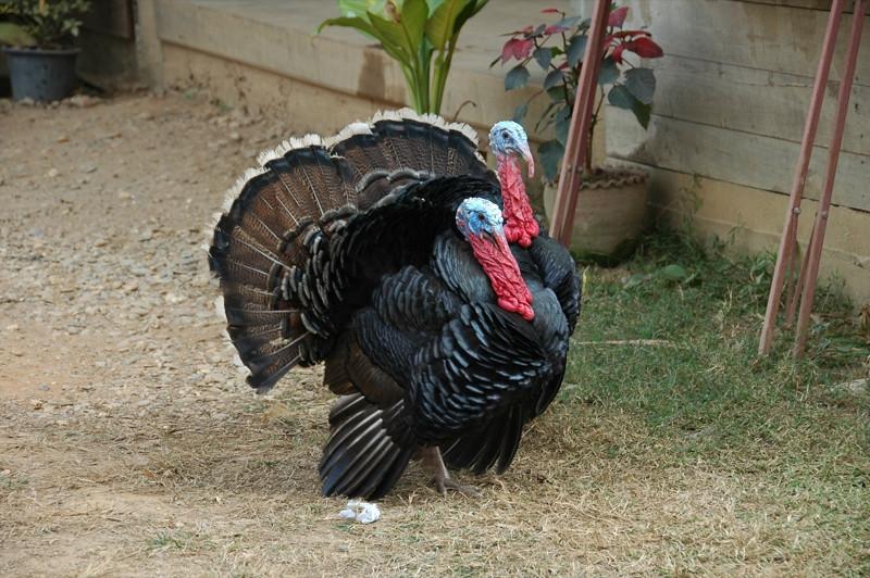 Turkeys - Nong Khiaw, Laos