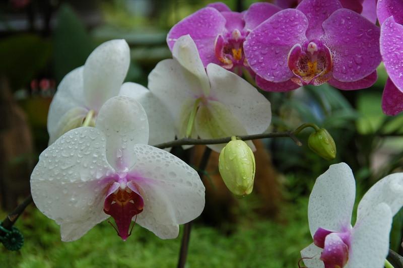 Orchids - Ho Chi Minh City, Vietnam
