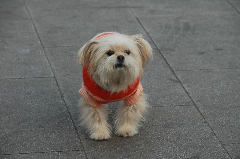Dog in a Sweater - Qingdao, China