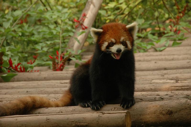 Hissing Panda - Chengdu, China