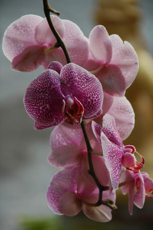 Crawling Orchids - Inle Lake, Myanmar (Burma)