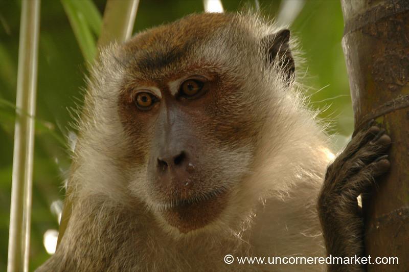 Monkeys, Penang Hill - Penang, Malaysia