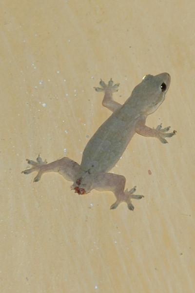 Gecko without a Tail - Hoi An, Vietnam