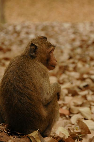 Pensive Monkey - Angkor, Cambodia