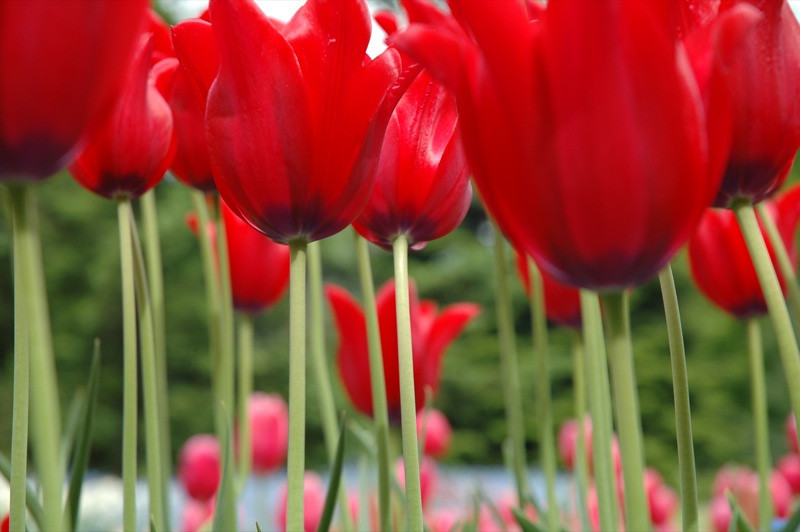 Beautiful Red Tulips - Czech Republic