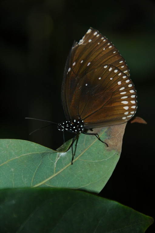 Brown Butterfly - Siem Reap, Cambodia