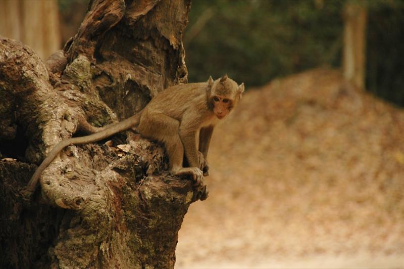 Young Monkey at Angkor Wat - Angkor, Cambodia