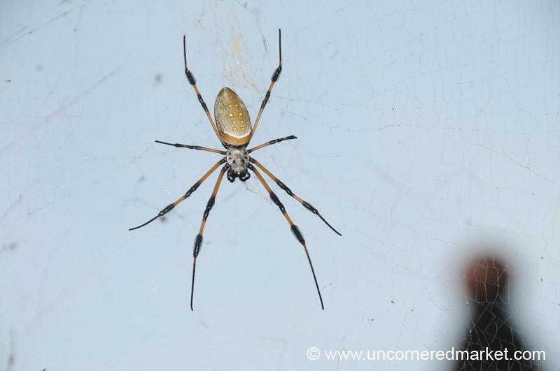 Spider - Utila, Honduras