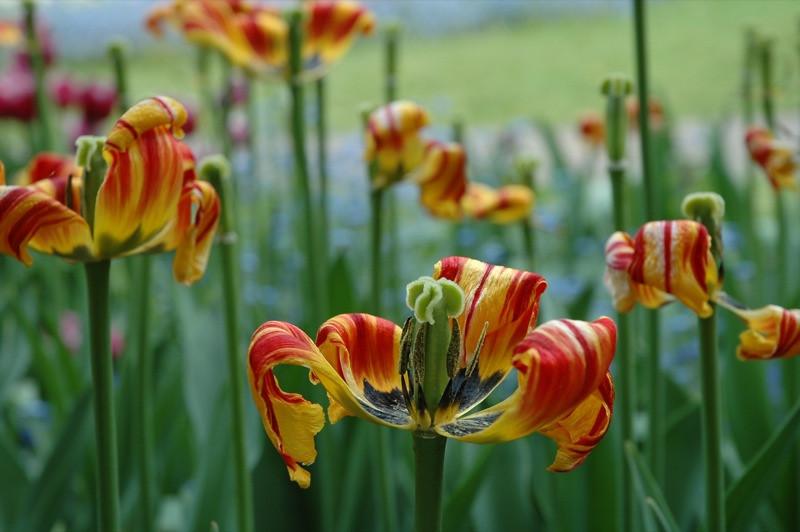 Aging Tulips - Czech Republic