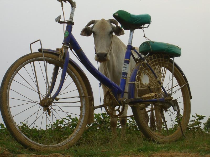 A Cow and A Bike - Battambang, Cambodia