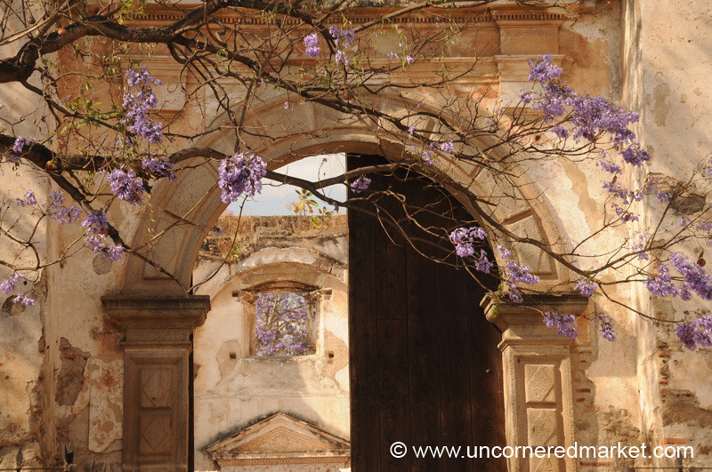 Jacaranda Trees Amongst the Ruins of San Augustin - Antigua, Guatemala