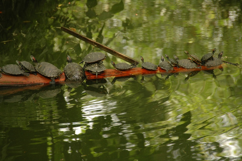 Sunbathing Turtles - Chengdu, China