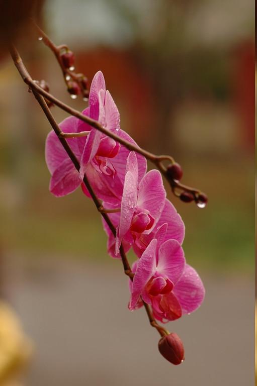 Hanging Orchids - Inle Lake, Myanmar (Burma)
