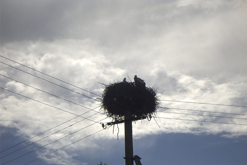 Storks on Electrical Poles - Tallinn, Estonia