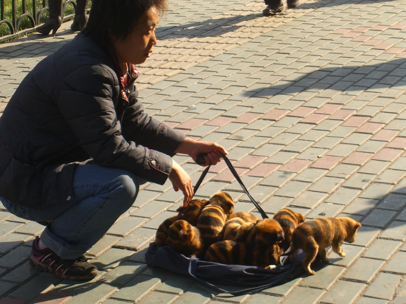 Striped Dogs in China?