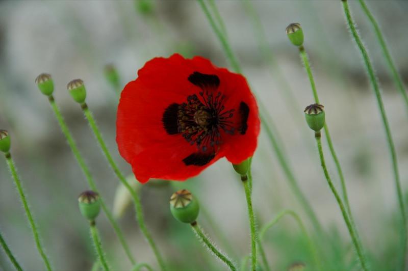 Red Poppy Flower - Kakheti, Georgia