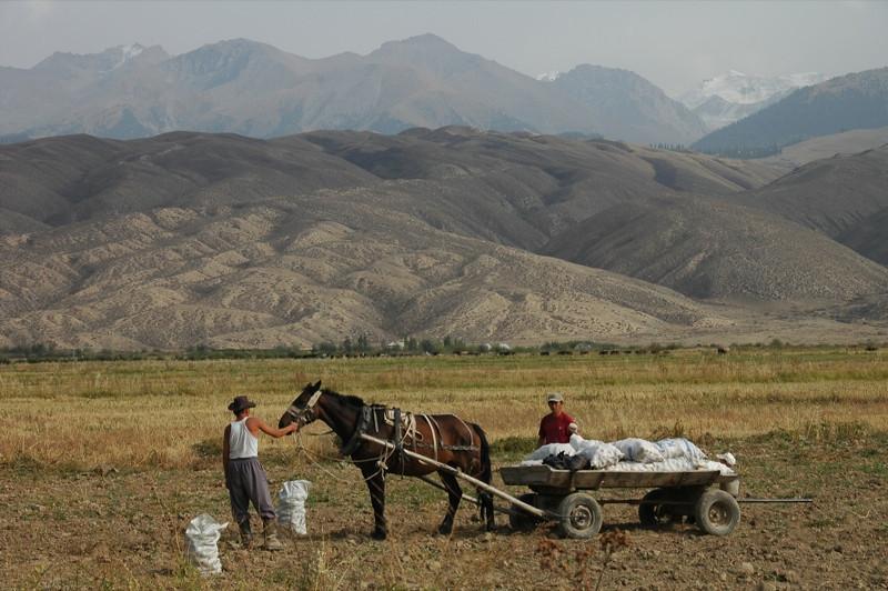 Potato Picking - Lake Issyk-Kul, Kyrgyzstan