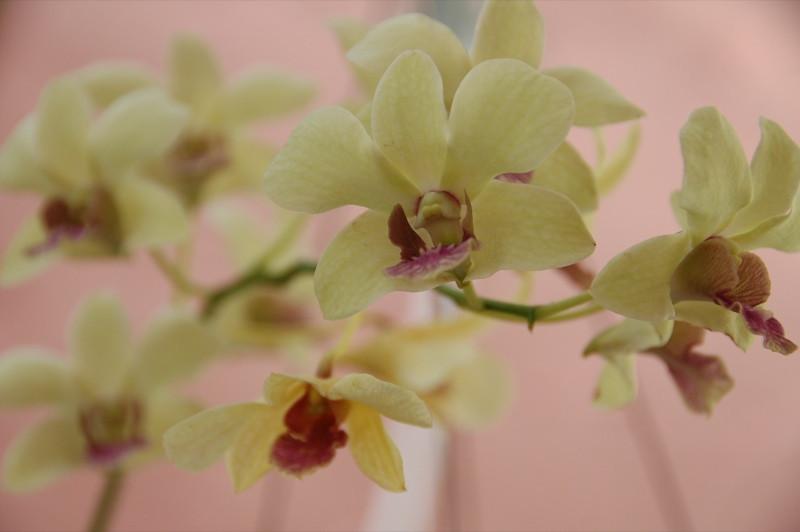 White Orchids - Koh Pha Ngan, Thailand
