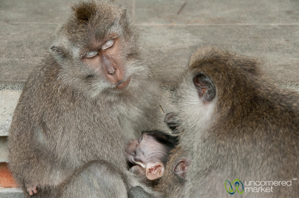 Sleeping Monkey Mother - Ubud, Bali