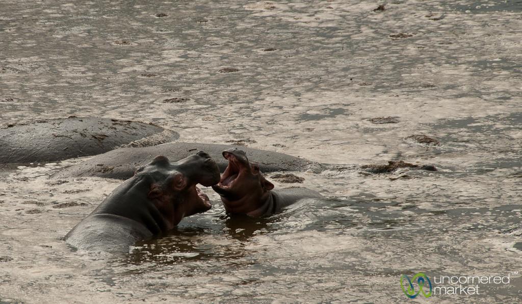 Hippopotamus Family in Water - Serengeti, Tanzania
