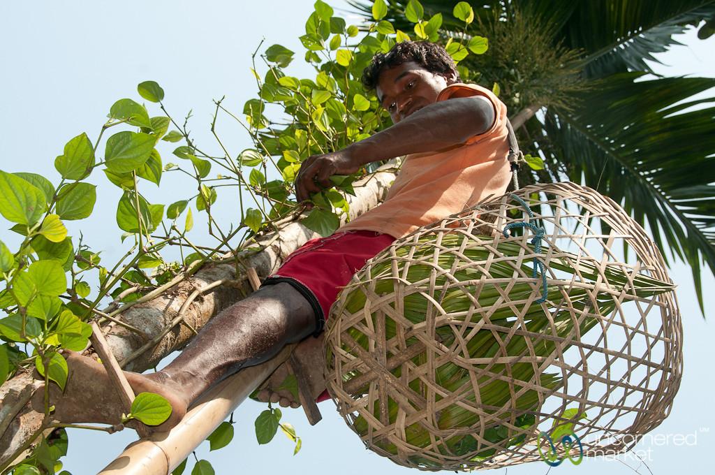 Picking Betel Leaves at Khashia Village - Srimongal, Bangladesh