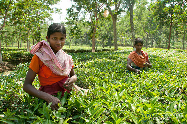 Tea Pickers Outside Srimongal - Bangladesh