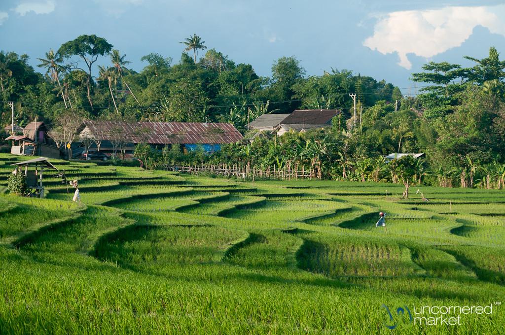 Working in Rice Fields - Canggu, Bali