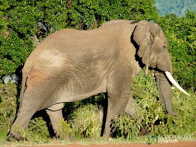 Elephant at our Campsite - Ngorongoro Crater, Tanzania