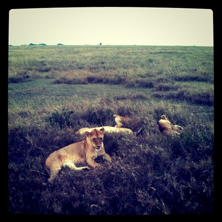 LIONS!! A warm welcome to Serengeti - Tanzania