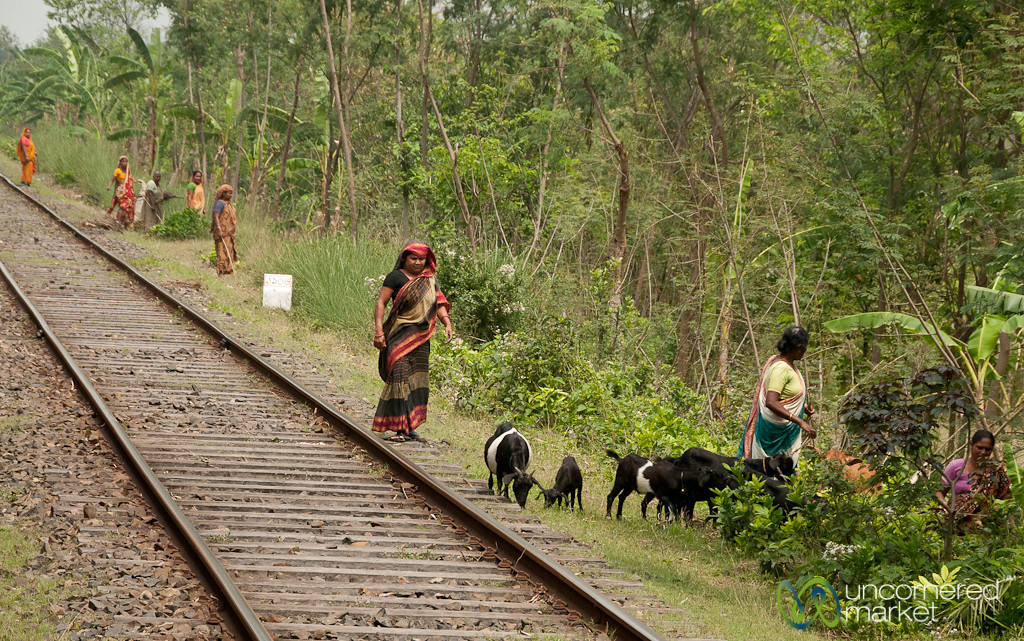 Tending Goats by the Railroad Tracks - Khulna to Rajshahi, Bangladesh
