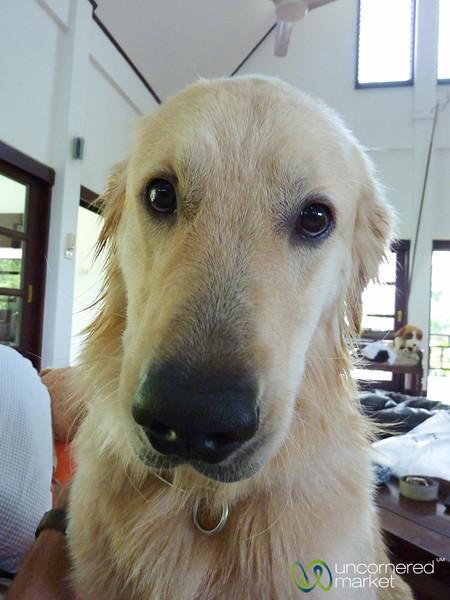 Dog, Man's Best Friend? Koh Samui, Thailand
