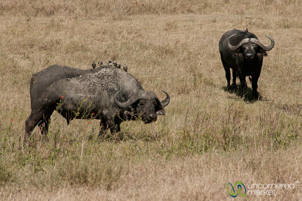 Buffalos in Serengeti - Tanzania