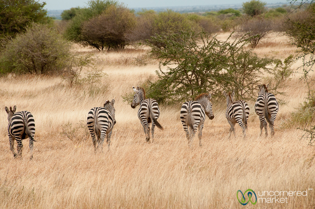 Row of Zebra Asses - Lake Manyara, Tanzania